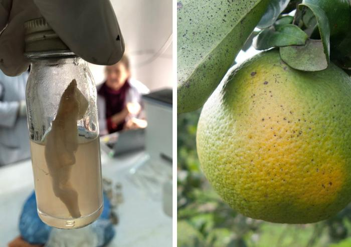 Left: A water sample undergoing testing using the J-WAFS-funded water quality test kit soon to be deployed throughout Nepal. Right: Citrus trees infected with citrus greening disease are highly contagious and can wipe out whole orange groves. ...